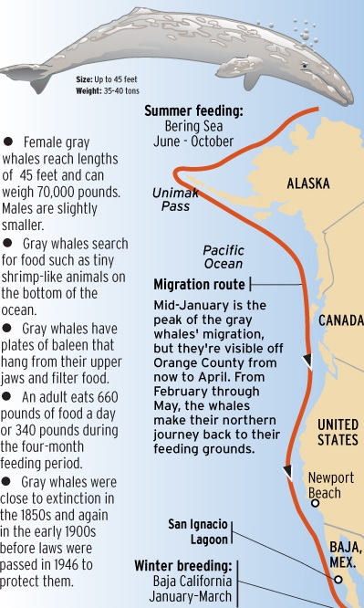 Gray Whale Migration Chart